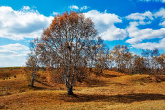 The autumn birch trees Stock Image