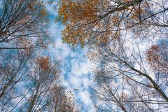 Autumn birch treetops in fall forest. Sky and clouds through the autumn tree branches from below. Foliage background. Copy space royalty free stock photography