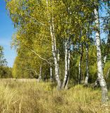 Autumn birch wood. On background blue sky at solar day Royalty Free Stock Photography