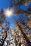 Autumn birch woods. Golden autumn scenery of the birch woods royalty free stock photos