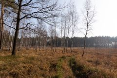 Autumn birch woods. Birch woods. Photo taken near Lviv, Ukraine. Birch young trees stock photo