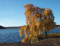 Autumn birch. Birch with yellow leaves at a lake and a blue sky Stock Images