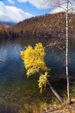 Autumn, birch with yellow leaves over a lake Stock Image