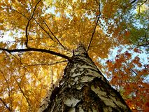 Autumn birche - a view from below Stock Photos