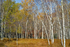 Autumn birches 1 Stock Photography