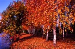 Autumn birches Stock Photos