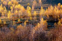 Autumn birches Royalty Free Stock Images