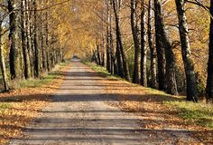 Autumn birches alley Royalty Free Stock Photo