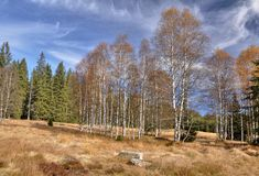 Autumn birches Royalty Free Stock Image