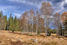 Autumn birches Royalty Free Stock Image