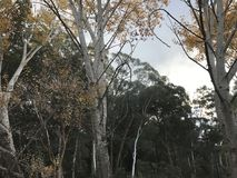 Autumn birches. Autumn birch trees in Canberra Stock Image