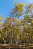 In the autumn of birches Royalty Free Stock Photos