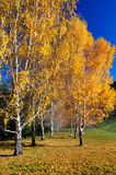Autumn birches and blue sky Royalty Free Stock Photography