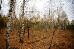 Autumn. Birches in the forest Royalty Free Stock Image