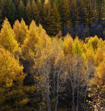 Autumn birches stock photo