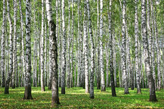 Autumn Birches med solstrålar Arkivfoton