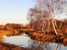 Autumn Birches Relected on the Levee Royalty Free Stock Images