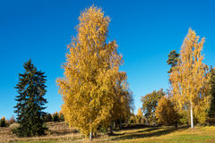 Autumn in birches. Royalty Free Stock Photos