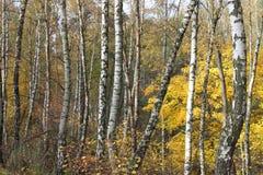 Autumn birchs Royalty Free Stock Image