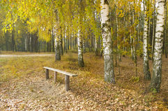 Autumn birchwood Royalty Free Stock Photos