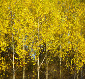 Autumn birchwood Royalty Free Stock Images