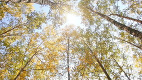 Autumn birchwood in a sunny day stock video