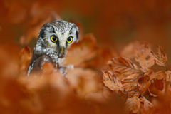 Autumn bird. Boreal owl in the orange leave autumn forest in central Europe. Detail portrait of bird in the nature habitat, Czech stock image