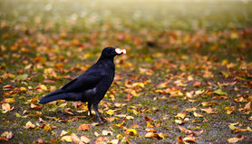 Autumn bird. Raven in autumn park eating a piece of bread stock image