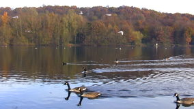 Autumn. Birds flying and swimming in the lake stock footage
