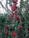 Autumn black bryony tamus communis red berry Royalty Free Stock Photo