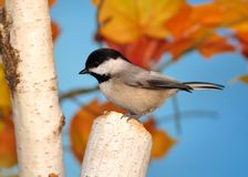 Autumn Black- capped Chickadee (Poecile atricapillus) Stock Photography