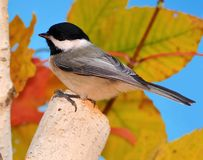 Autumn Black- capped Chickadee (Poecile atricapillus) Royalty Free Stock Image