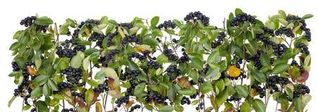 Autumn black mountain Ash Royalty Free Stock Image