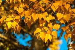 Autumn black poplar leaves background Stock Photos