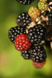 Autumn blackberries. Ripe and now ready for picking. Focus is on red berry in the center Stock Photos
