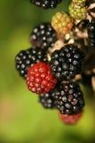 Autumn blackberries Stock Photos