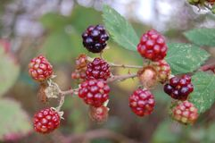 Autumn Blackberries Royaltyfri Bild