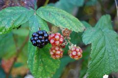 Autumn Blackberries Arkivbilder
