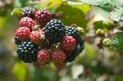 Autumn blackberries ripen on brambles. Blackberries red and black ripens on brambles in autumn countryside stock photo