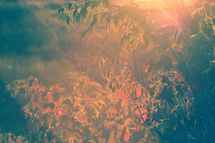 Autumn Blackberry Bush Lens Flare - vintage Images stock