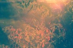 Autumn Blackberry Bush Lens Flare - Wijnoogst Stock Afbeeldingen