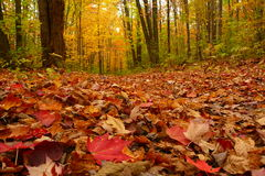 Autumn Blanket of Leaves. Colourful fall leaves carpet the ground on a path in the woods Stock Image