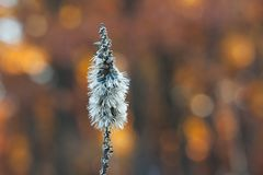 Autumn Blazing Star. A blazing star stands alone in an autumn colored forest, on a cool crisp early morning. The flower`s feathery seeds wait to blow away into stock images