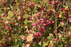 Autumn bloom. Euonymus. Shrub Blooming in Autumn. Autumn bloom. Euonymus. Shrub Blooming in Autumn stock photography