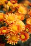 Autumn blooming Stock Photos
