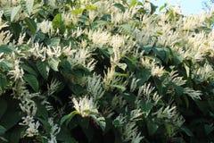 Autumn blooming Japanese knotweed invasive species. Horizontal aspect Royalty Free Stock Photos