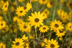 Autumn Blooming Small Yellow Wildflowers royalty-vrije stock afbeelding