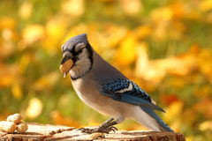 Autumn Blue Jay Foto de Stock Royalty Free