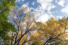 Autumn blue sky with clouds and tops of trees with yellow leaves Stock Images