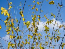 Autumn Blue sky, light clouds and branches of trees with yellow leaves. Stock Image